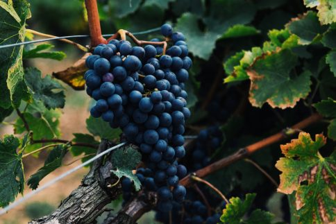 North Carolina vineyard, NC wine