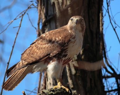 Red-tailed hawk, diverse ecosystem, Hiwassee, Nottely and Valley Rivers